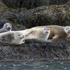 harbor seals 2 Camden Maine