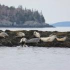 harbor_seal_group Camden Maine